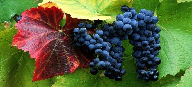 sajam vino temerin