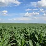 Соја и репа пристижу кукуруз