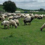 И овце и витезови