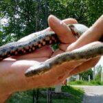 Отровне змије у Тителу